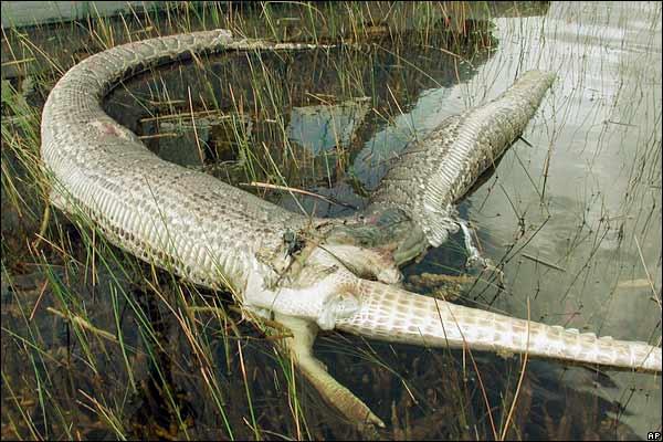 Anaconda-Alligator Explosion!